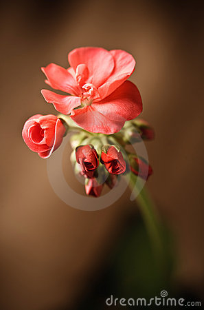 Geranium bud expanding