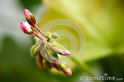 Geranium bud expanding extreme macro