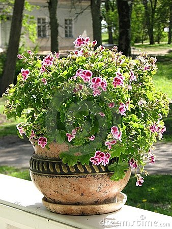 Geranium in a decorative pot