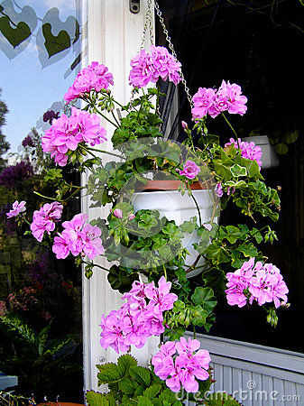 Geranium flowers in hanging basket on a balcony stock - Hanging baskets for balcony ...