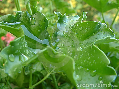 Geranium leaf with water drops 1