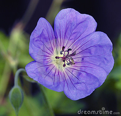 Free Geranium Rozanne Royalty Free Stock Image - 2595606