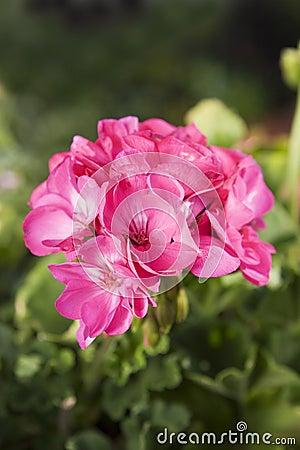 Free Geraniums Royalty Free Stock Photo - 1039795