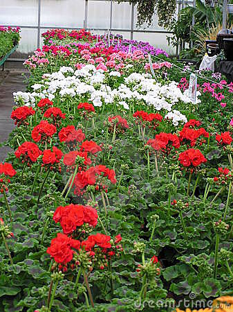 Free Geraniums For Sale Stock Image - 597351