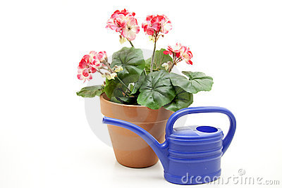 Geraniums with watering can