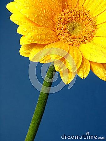 Gerber amarelo