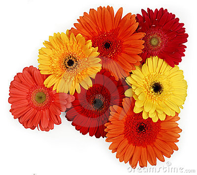 Free Gerber Daisies Royalty Free Stock Photos - 1142268