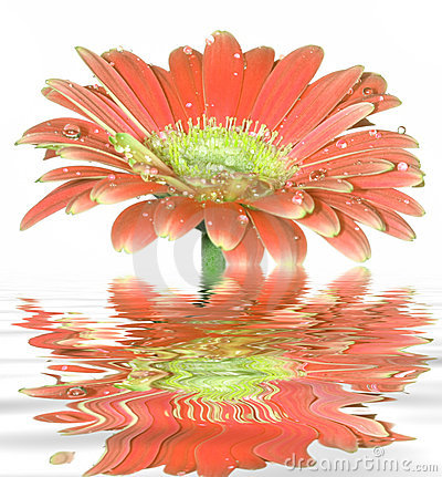 Free Gerber Daisy Flower Royalty Free Stock Photo - 5289025