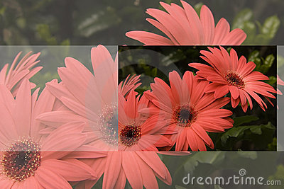 Gerber Daisy Greeting Card