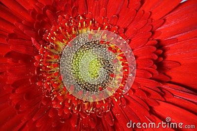 A Gerber flower