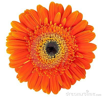 Free Gerber Flower Royalty Free Stock Photos - 11781248