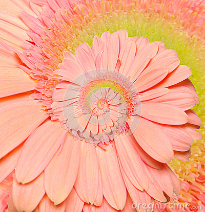 Free Gerber Flower Infinity Spiral Abstract Background. Stock Images - 38013504