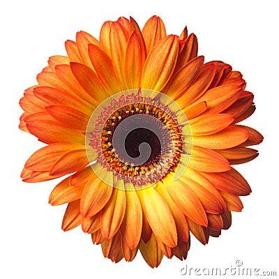 Free Gerber Flower On A White Stock Photos - 19169913