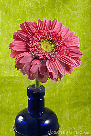 Free Gerber Or Gerbera Daisy In Colbalt Bottle Stock Photography - 15566522