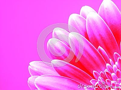 Gerber różowy