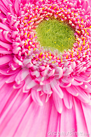 Ρόδινο λουλούδι gerbera