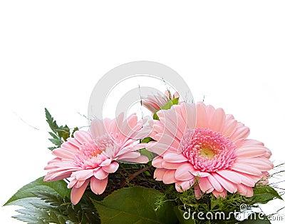 Gerbera Asteraceae