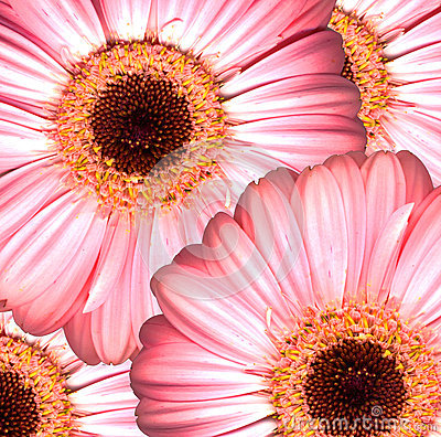 Beautiful bright pink gerbera flowers