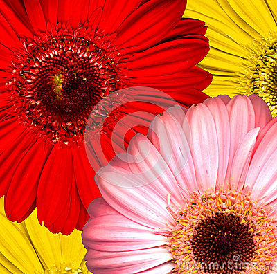 Beautiful bright red, yellow and pink gerbera flow