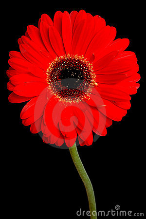 Gerbera on black