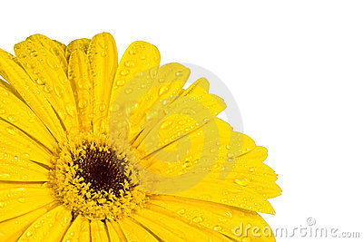 Gerbera a bright yellow flower