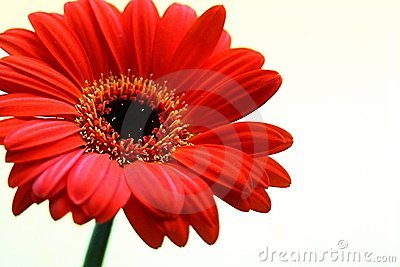 Gerbera with copy space