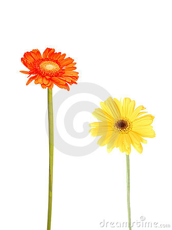 Free Gerbera Daisies Stock Photography - 11881542