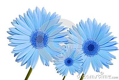 Gerbera daisy blue three