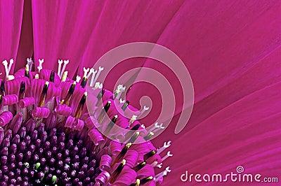 Gerbera Daisy Closeup