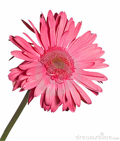 Gerbera daisy isolated on white