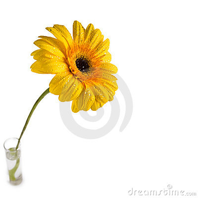 Free Gerbera Flower Stock Photos - 4380293