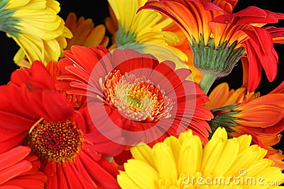 Gerbera flower heads closeup