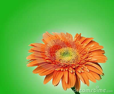 Gerbera flower isolated with clipping path