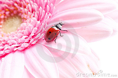 Gerbera flower and ladybug