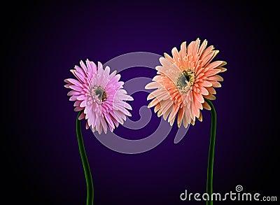 Gerbera flowers dialog