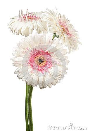 Gerbera flowers on white