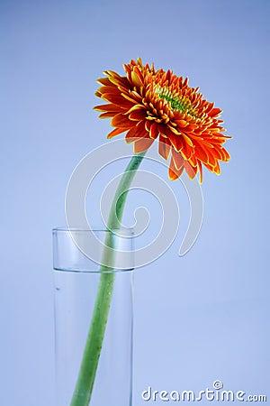 Gerbera in the glass