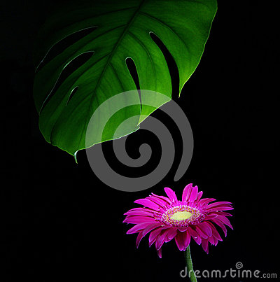 Gerbera and green leaves