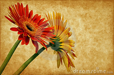 Gerbera on grunge background