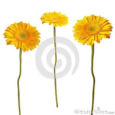 Gerbera kolor żółty