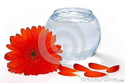 Gerbera and vase