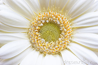 Gerbera Yellow White Flower