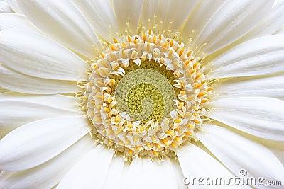 Gerbera Yellow White Flower