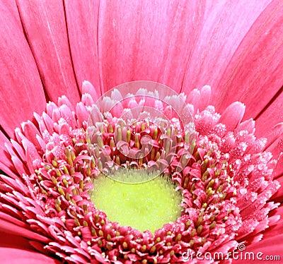 Gerberagänseblümchen