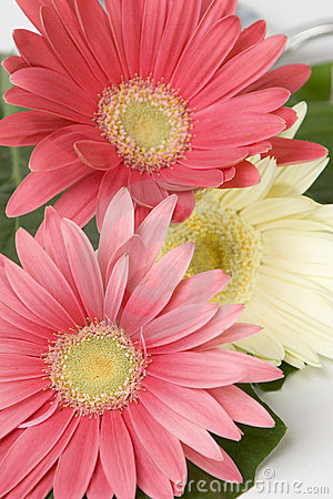 Free Gerberas Stock Photos - 297853