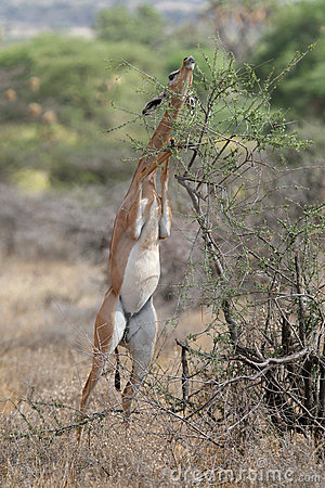 Free Gerenuk Royalty Free Stock Photography - 1962757