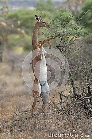 Free Gerenuk Stock Image - 1962761