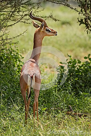 Free Gerenuk - Litocranius Walleri Royalty Free Stock Photography - 111645817
