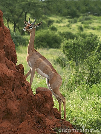 Free Gerenuk On A Termite Mound Royalty Free Stock Photos - 10334898