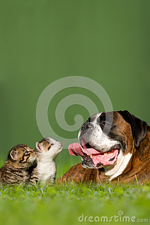 German boxer dog with two little kittens